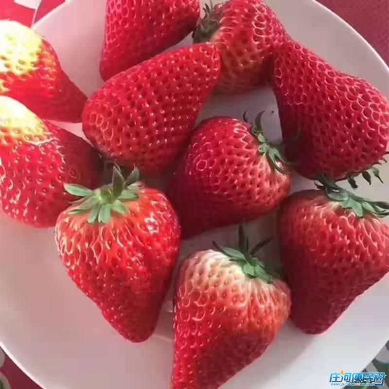 丹东九九草莓市内免费送货,现摘现送。